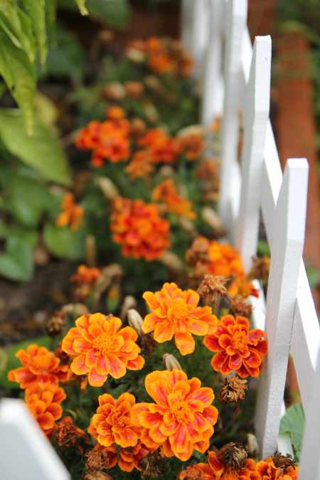 I love how, when all the plants start to die in the autumn, marigolds jump to life and BLOOM!
