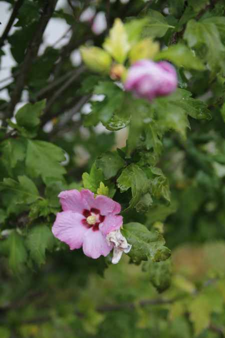 The final blooms on the rose of Sharon in my back yard.