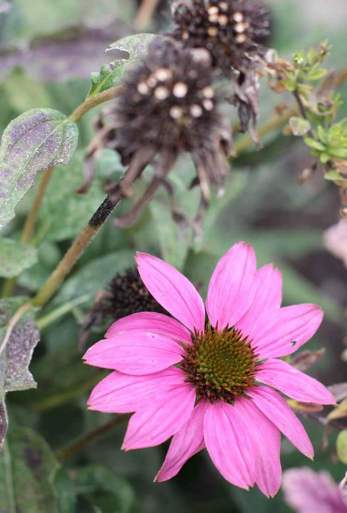 echinacea-autumn-1