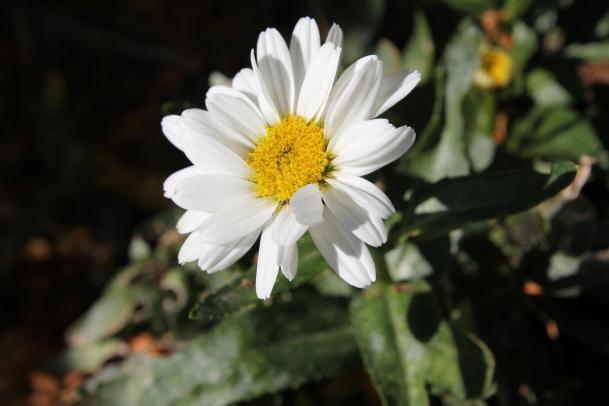 daisy-1