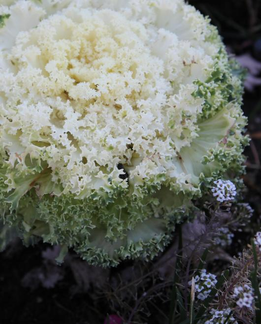 Why the photo of ornamental cabbage, you may ask. Because I think it's beautiful, I will answer. Taken this afternoon.